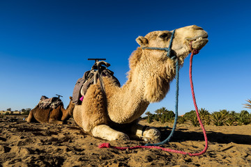 camel in desert, photo as background