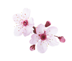 Branch in blossom isolated on white background. Plum.
