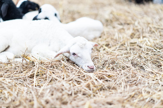 Lazy goat is sleepy in the farm stall.