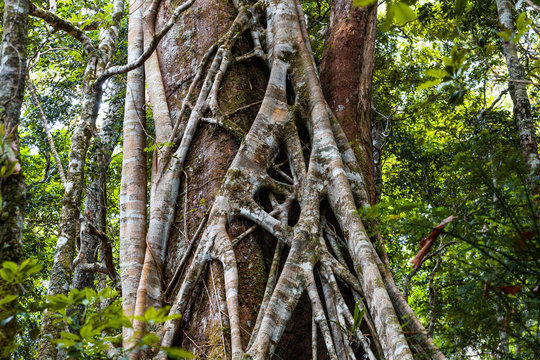 Closeup of strangler fig tree in a rainforest