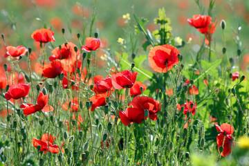 Obraz red poppies flower in spring season landscape - fototapety do salonu