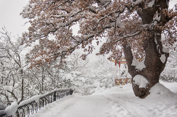 Oak tree covered with snow