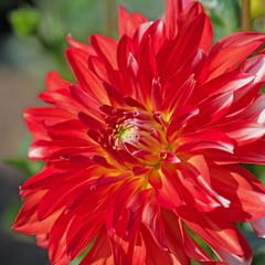 Rote Dahlie, Blüte in einer Nahaufnahme