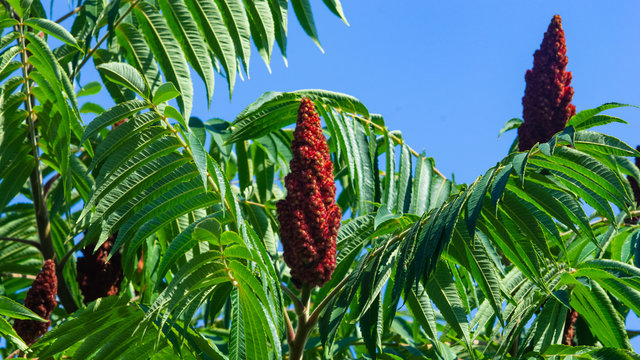 Red flowers with green leaves on blooming Staghorn sumac, Rhus typhina, close-up, selective focus, shallow DOF