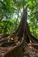 Huge fig tree roots in a rainforest - vertical image