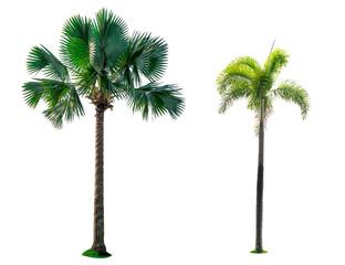 Manila palm, Christmas palm tree (Veitchia merrillii (Becc.) H.E. Moore )