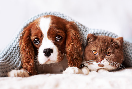 Cavalier King Charles Wellpe und BKH Kitten - Freunde