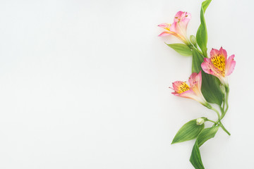 top view of composition with pink flowers on white background