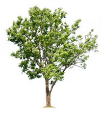 Big tree isolated on white background with clipping paths