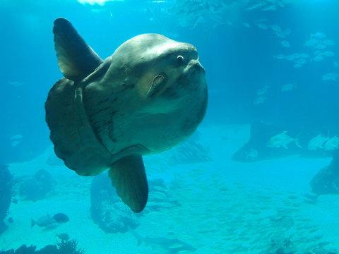 headfish, mola mola