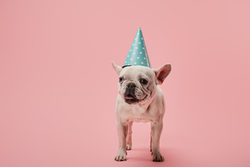 french bulldog with dark nose and blue birthday cap on pink background