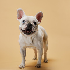 french bulldog with cute muzzle and dark nose on beige background