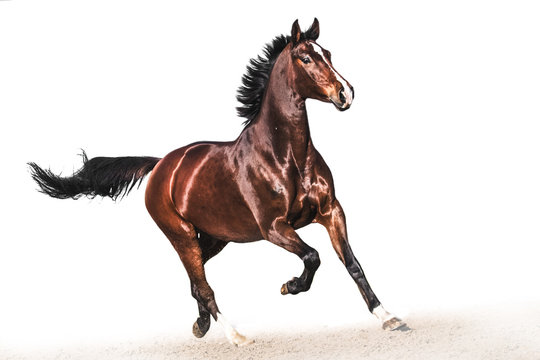 Brown warmblood horse in gallop white background