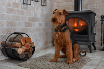 Airedale Terrier dog (1.1 year old), in the interior of the house (by the fireplace and woodpile)