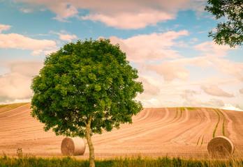 Fotoväggar - Einzelner Baum vor Kornfeld
