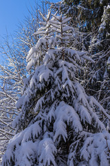 Snow-covered winter spruce forest. Cold day, a calm winter landscape
