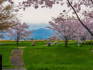 Elderly couple taking photos together with fully bloomed Cherry Blossoms