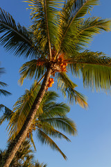 Coconut palm tree crown against clear blue sky, view from below. Mauritius island