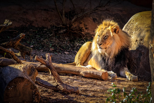 A male, African lion with a large, golden mane lies in the cold in an enclosure at a zoo.