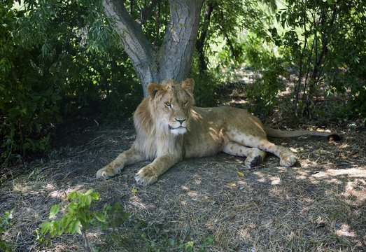 A young male lion (Panthera leo) resting in the shade of a tree, captive