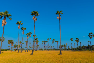 Paddy field with sugar palm tree in tropical area in Thailand during summer.