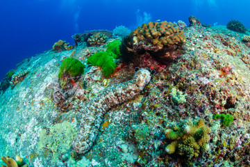 Large Sea Cucumber on a coral reef