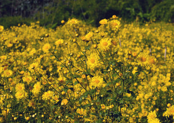 Beautiful Chrysanthemum morifolium Ramat in sun light