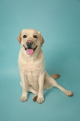 Cute Labrador Retriever on color background