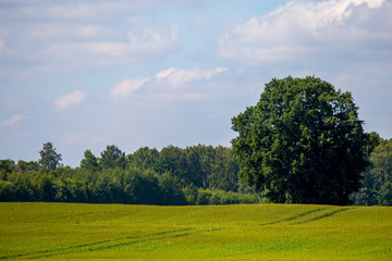 Landscape with cereal field, forest and blue sky