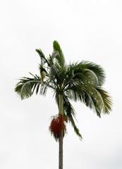 A single palm tree against a cloudy sky in Atibaia, Sao Paulo, Brazil