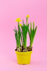 Young spring narcissus flowers in pot on pink background, symbol of the beginning of spring