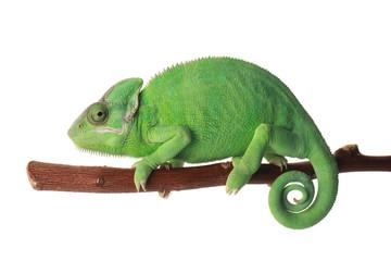Papiers peints Cameleon Cute green chameleon on branch against white background