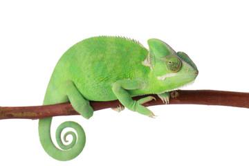 Cute green chameleon on branch against white background