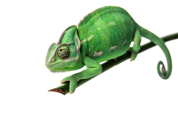 Deurstickers Kameleon Cute green chameleon on branch against white background
