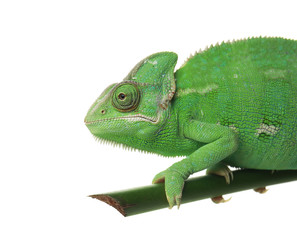 Cute green chameleon on branch against white background
