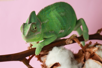 Cute green chameleon on cotton branch against color background
