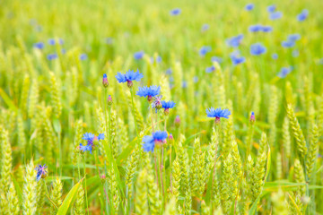 Wild cornflowers in a cereals field