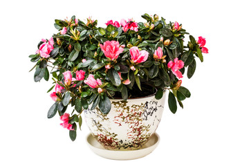 Wall Murals Azalea Blooming Azalea plant in a pot isolated on white background.
