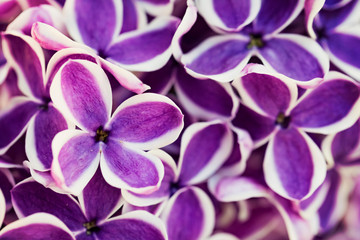 Foto op Aluminium Lilac Purple lilac flowers close-up background