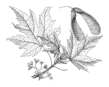 Silverleaf maple (Acer saccharinum) / vintage illustration from Meyers Konversations-Lexikon 1897