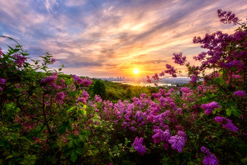 Amazing morning landscape with blossoming lilac, green trees, Dnieper river, city view and rising sun in colorful cloudy sky. Botanical garden in Kyiv (Kiev) at sunrise, Ukraine, Eastern Europe