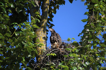 A young bald eagle sitting on the edge of a nest