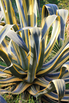 Agave Americana variegata (Cactus, succulent, plante grasse, agava)
