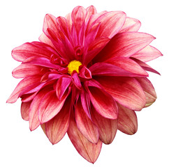 Poster Rose flower isolated red dahlia on a white background with clipping path. For design. Closeup. Nature.