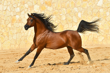 Purebred bay arabian stallion runs in gallop along stone wall. Horizontal, side view, in motion.