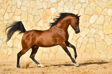 Purebred bay arabian stallion runs in gallop along stone wall. Horizontal, side view, in motion.