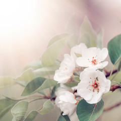 Flowering pear, colorful flowers natural springtime background, blurred image, copy space, selective focus