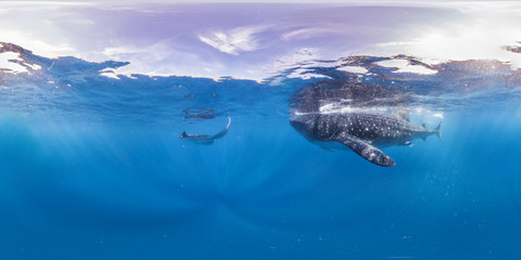 360 of Manta ray and whale shark in blue open ocean