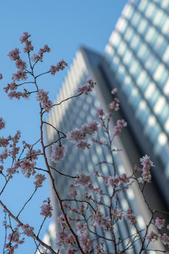 Blossoms against a skyscraper
