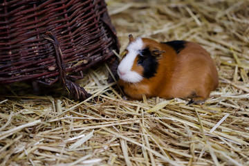 Full body of white-brown-black domestic guinea pig (Cavia porcellus) cavy